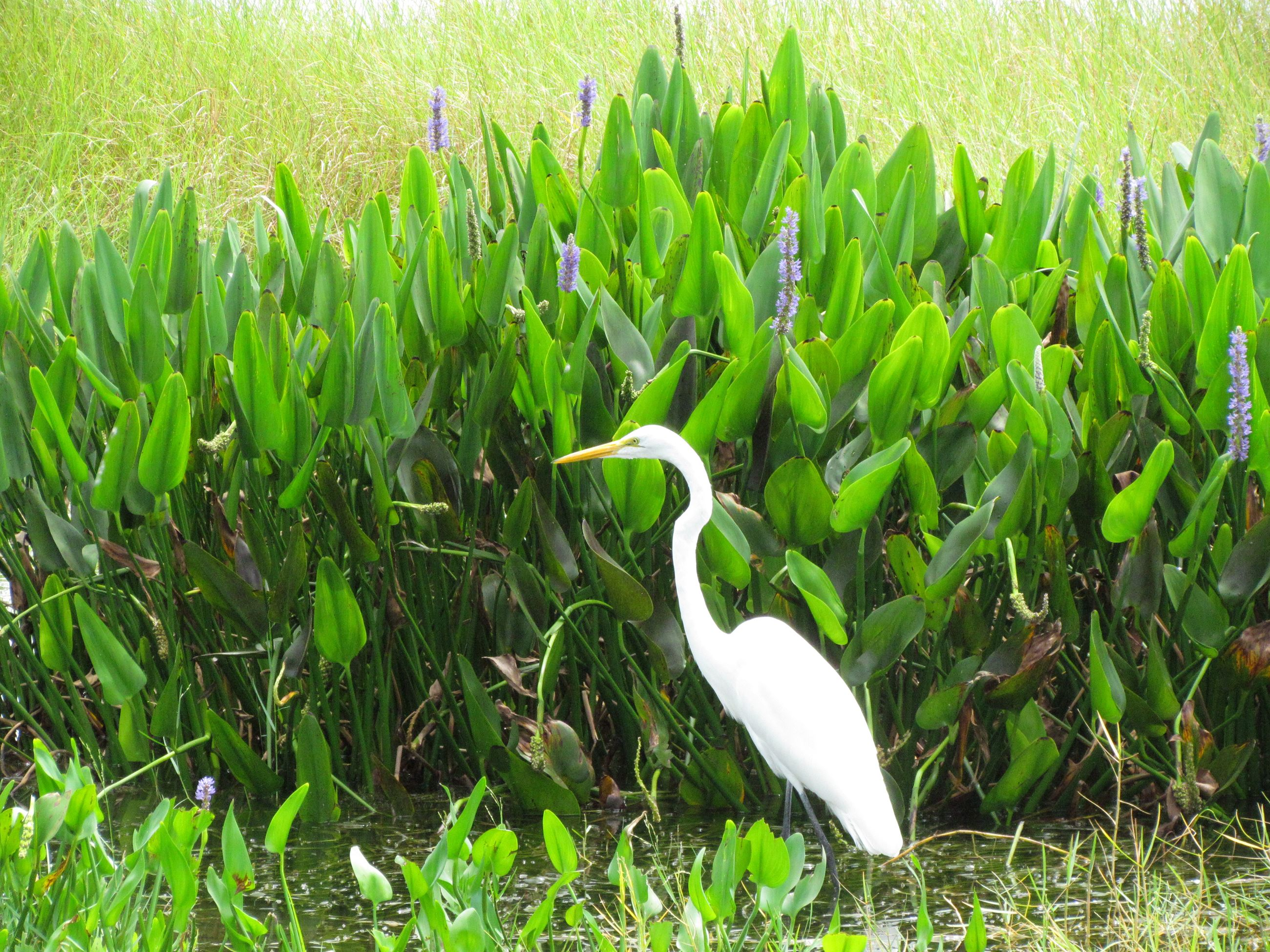 Photo of White Egret on Lake Dora
